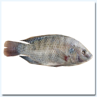 Tilapia (Cl) China 350/550