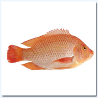 Red Tilapia (Whole) 500/800