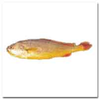 Croaker (Yellow)
